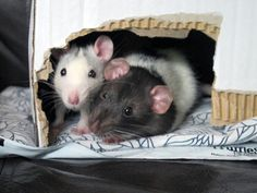 Adorable fancy and dumbo rats!