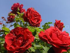 How to Use Epsom Salt in Your Garden. Roses and peppers How to Use Epsom Salt in Your Garden.