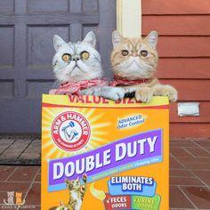 """Double Duty""  #exoticshorthair #cat #cute #flatface #kitten #meow #pet #mreggs #catlover #exoticsofinstagram #smushface #weeklyfluff"