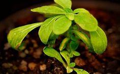 Una planta con luz propia