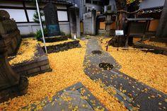 本能寺 銀杏と散り銀杏 京都を大火から守った火伏せの銀杏