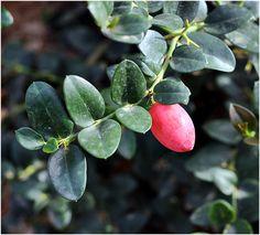 Carissa macrocarpa (Natal plum) the fruit is edible,I use it for jams