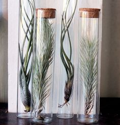 Air Plants #tillandsia