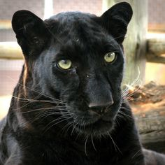 Black skin and green eyes with the bigest love in them Big Cats, Crazy Cats, Cool Cats, Beautiful Cats, Animals Beautiful, Black Panthers, Animals And Pets, Cute Animals, Panther Pictures