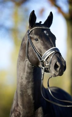 Portrait of Moorlands Totilas famous dressage horse - Shown by Edward Gal - from For The Love Of Horses