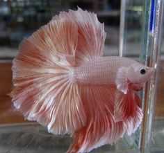 Have NEVER seen a pink Betta before--gorgeous! I used to raise them and angel fish years ago, but mine were mostly blue/red combos in the Barb M. Pretty Fish, Beautiful Fish, Colorful Fish, Tropical Fish, Betta Tank, Fish Care, Freshwater Aquarium Fish, Siamese Fighting Fish, Angel Fish