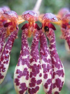Bulbophyllum pulchrum | Flickr - Photo Sharing!
