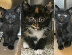 URGENT! Greenville, SC * Intake: 5/6 Available: 5/12 NAME: Lucy, Ethel, & Ricky  ANIMAL ID: 27762524-2522-2521 BREED: DSH  SEX: 2 female 1 male  EST. AGE: 4 weeks  Est Weight: 1.2-1.6 lbs  Health:  Temperament: Friendly  ADDITIONAL INFO:  RESCUE PULL FEE: $49(each)