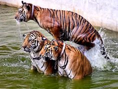 Tigers at play....#Tiger #Thailand #Myphoto