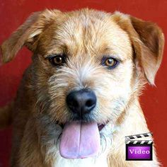 Rescue Me: Hi, I'm Rory. I'm a young and high spirited dog with lots of energy. I'm learning my manners and am doing great at obedience, agility and crate training. If you have an active lifestyle then I'm the guy for you!