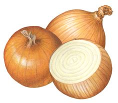 Vegetable illustration of two whole yellow onions with a cut onion half. Illustration Botanique, Botanical Illustration, Illustration Art, Fruits Drawing, Food Drawing, Onion Drawing, Food Art Painting, Image Fruit, Vegetable Pictures