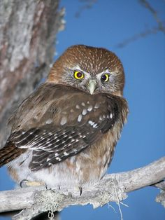 The austral pygmy owl (Glaucidium nana) is found in temperate forests of Chile and Argentina. Photo by Roderich Barría. Owl Art, Art Pictures, Patagonia, Flora, Bird, Raptors, Cactus, Animals, Image