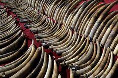 Sri Lanka destruye el mayor cargamento de marfil de sangre   Más de 359 colmillos de elefante africano, valorados en US$ 2,7 millones