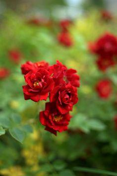 ogrod.krakow.pl Rośliny Roses, Leaves, Flowers, Plants, Backgrounds, Pink, Rose, Plant, Royal Icing Flowers