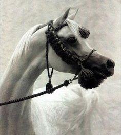 Horse Pedigree Database | Samara Bint Sinan | Arabian, Egyptian | Association of Breeders of the Arabian Horse (VZAP)