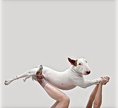 #Bull #Terrier Jimmy Choo