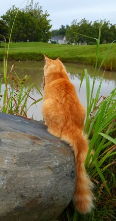 Orange kitty enjoying nature. Here Kitty Kitty, Kitty Cats, Siberian Cat, Red Cat, Orange Cats, Ginger Cats, Maine Coon Cats, Cat Love, Animal Drawings