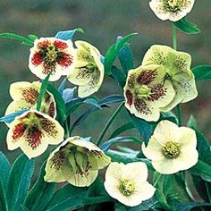 White Lady Hellebore - one of the earliest bloomers in the garden; a shade loving perennial.