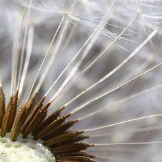 Imagem gratis no Pixabay - Dente De Leão, Natureza, Freiras