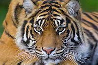 Tiger: Sumatran tiger (Panthera tigris sumatrae) picture | Tom & Pat Leeson