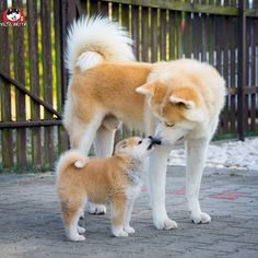 The Akita Inu is a majestic dog, with a robust appearance and a strong character, there is tow famous breed of Akita Inu the Japanese Akita and American Akita Inu Akita Puppies For Sale, Cute Dogs And Puppies, Baby Puppies, Pet Dogs, Dog Cat, Baby Pets, Corgi Puppies, Weiner Dogs, Shiba Inu