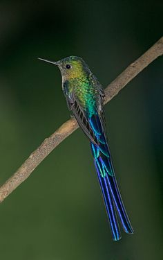 Violet-tailed Sylph | Read More Info