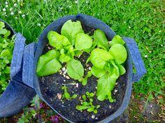 Laitues faciles. vous pouvez cliquer ici pour découvrir le Défi Potager #8. Jardiner hors sol : sur ma terrasse ou mon balcon. Une semaine à Paris-Forêt.