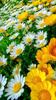 Not exotic but still so bright and lovely. Sunflowers And Daisies, All Flowers, Flowers Nature, My Flower, Yellow Flowers, Flower Power, Beautiful Flowers, Daisies Bouquet, Share Pictures