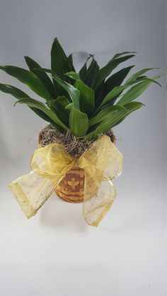 Janet Craig Houseplant ~ easy care and low maintenance plant ~ have questions ~ let's chat plants ~      #easyplantchat #houseplants #dracaena