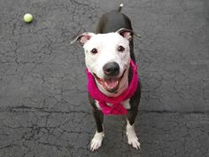 MURDERED 7/14/16 Manhattan center TYME – A1079422 FEMALE, BLACK / WHITE, PIT BULL MIX, 2 yrs STRAY – ONHOLDHERE, HOLD FOR ID Reason ABANDON Intake condition UNSPECIFIE Intake Date 06/30/2016, From NY 10463, DueOut Date 07/03/2016, I came in with Group/Litter #K16-063600
