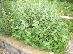 Catnip — Grown near the home, it attracts good spirits and great luck. Catnip is used in spells designed to enhance beauty and happiness. Large catnip leaves are pressed and used as bookmarks in magickal texts