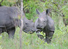 Rhino tracking at Ziwa Rhino & Wildlife Reserve in Uganda #visituganda #conservation safari