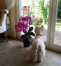 Polo- Have you noticed how Westies make flowers look better?   : )