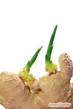 Superknolle Ingwer: Nicht kaufen, sondern ganz einfach selbst vermehren Ginger is healthy and versatile. But instead of always buying new tubers expensive, you can easily grow and supply them yourself.