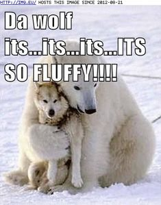 This pic is real. A polar bear came for multiple days to play with the dogs of a sled team. When the bear first arrived the owner of the dogs thought they were goners. Never once did the bear harm the dogs. Cute Baby Animals, Animals And Pets, Funny Animals, Wild Animals, Funny Dogs, Arctic Animals, Funny Husky, Beautiful Creatures, Animals Beautiful