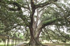 Davey's residential tree services district manager made sure this special live oak #tree received the recognition it deserved.