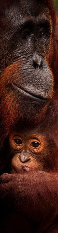 Orangutan mother with baby in Borneo