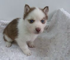 Ornelas miniature husky puppies for sale in Texas is a registered Breeder of quality pure bred siberian huskies who are located in Plano, TX. We've imported bloodlines from New USA and Europe. Huskies For Sale, Mini Huskies, Husky Puppies For Sale, Cavapoo Puppies, Puppys, Miniature Husky For Sale, Miniature Dogs, Cute Husky, Husky Puppy