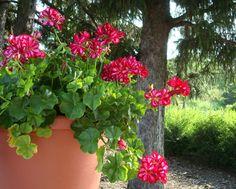 2012 Year of the Geranium: usage garden pot