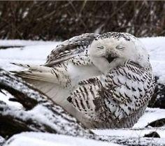 Sleeping Owl: