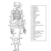 Free printable Human Skeleton coloring sheet is one of many Anatomy, Halloween, October Coloring Pages. Just click, print, and get out your crayons!