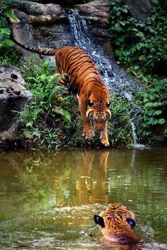 Save the Wild Tiger Forests of Kodagu(Coorg)! DECLARE Kodagu an Eco-Sensitive Zone! The Power Grid Corporation of India Ltd. is proposing a 400kv high-tension power line passing through the forests close to the Rajeev Gandhi Tiger Reserve (Nagarhole)! SAY NO TO THIS ECOLOGICAL DISASTER! PLZ Sign Share!