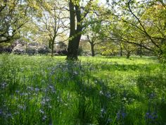Spring at Kew Gardens - Camassia