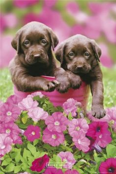 Ahh, I've always wanted a chocolate lab!!! How much cuter can they be?!