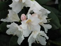 Rhododendron 'Cunningham's White' - valkoalppiruusu
