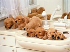 Golden puppies waiting for a shower. Golden Retriever dog art portraits, photographs, information and just plain fun. Also see how artist Kline draws his dog art from only words at drawDOGS.com #drawDOGS http://drawdogs.com/product/dog-art/golden-retriever-dog-portrait-by-stephen-kline/