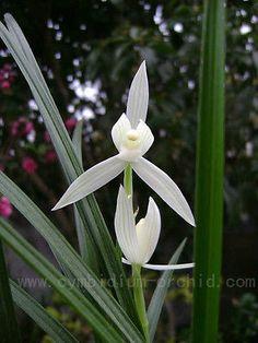 Chinese-orchid-cymbidium-lianpan-xiaoxuesu 3-4 growths