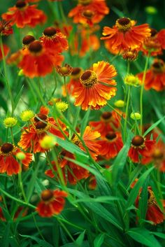 "Helenium autumnale ""Moerheim Beauty"" Lawn And Garden, Garden Tools, Garden Ideas, Garden Plants, Indoor Plants, Plant Information, Herbaceous Perennials, Black Flowers, Back Gardens"