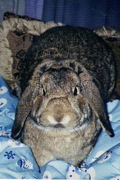 Jack the French lop rabbit. Best bunny ever.