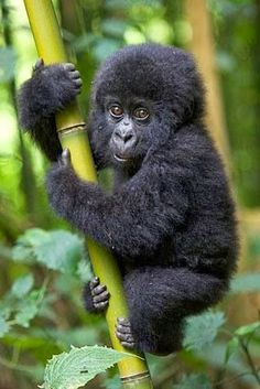 Baby gorillas are so cute